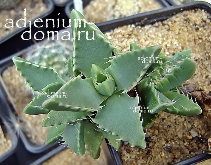 Faucaria SUBINTEGRA Фаукария субинтегра 3