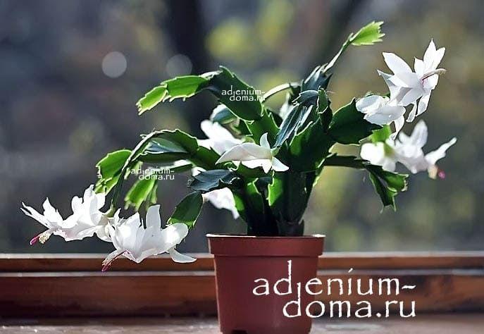 Растение Schlumbergera TRUNCATA Шлюмбергера усеченная 3