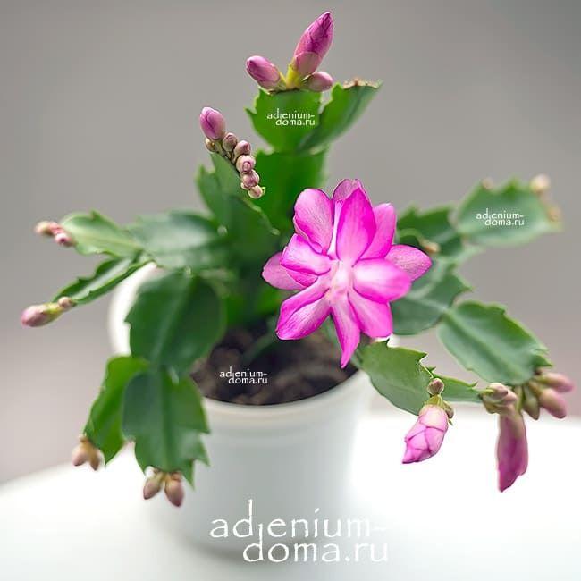 Растение Schlumbergera TRUNCATA Шлюмбергера усеченная 2