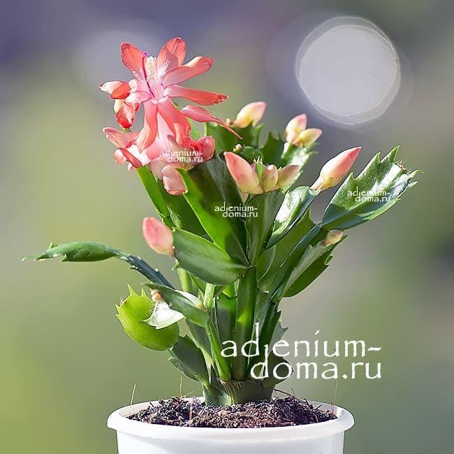 Растение Schlumbergera TRUNCATA Шлюмбергера усеченная 1