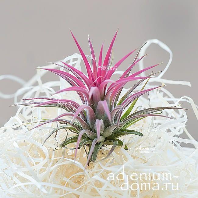 Растение Tillandsia IONANTHA RED Тилландсия фиалкоцветковая 1