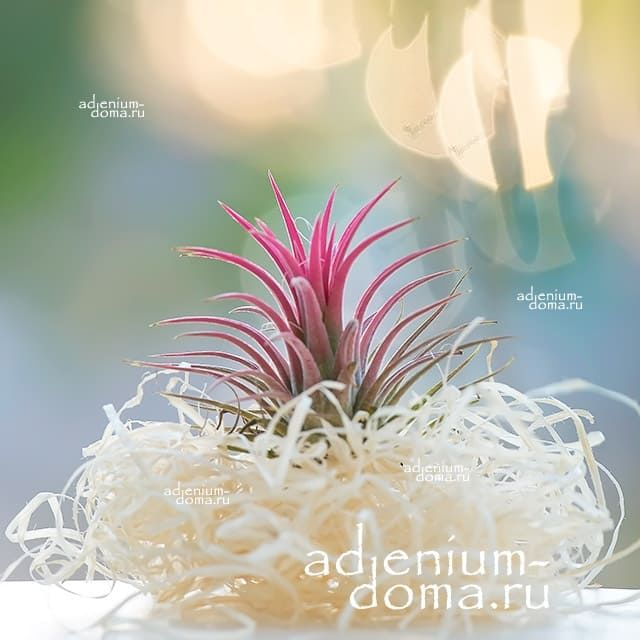 Растение Tillandsia IONANTHA RED Тилландсия фиалкоцветковая 2