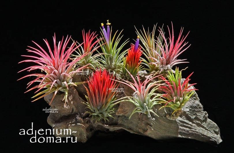 Растение Tillandsia IONANTHA RED Тилландсия фиалкоцветковая 3