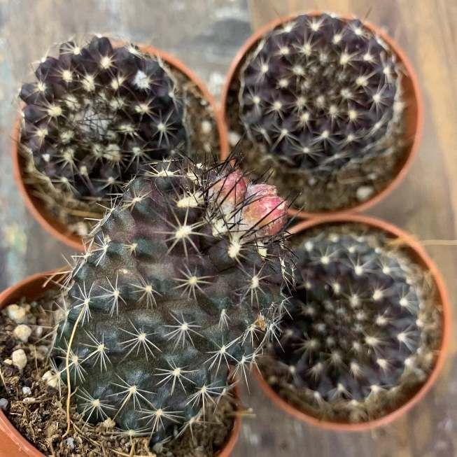 Растение Copiapoa MIX Копиапоя черная 2
