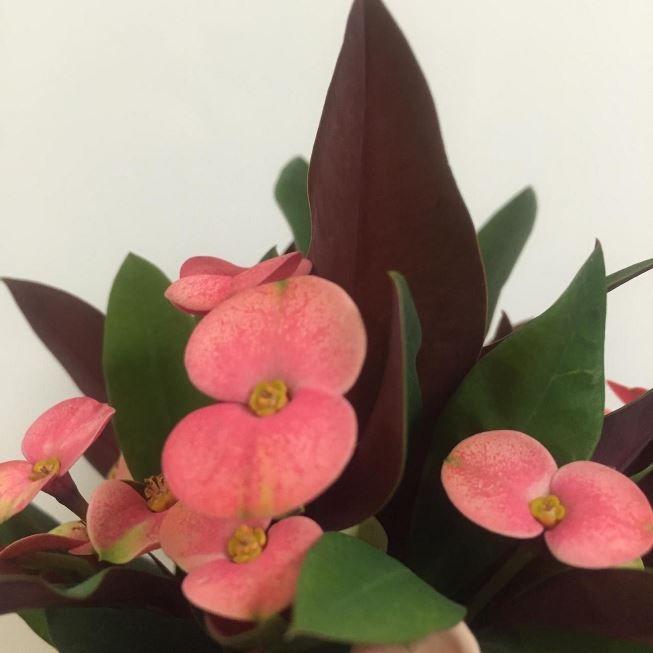 Растение Euphorbia MILII Молочай Миля 3