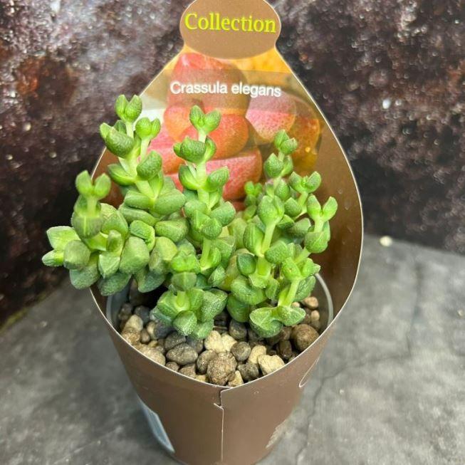Растение Crassula PERFORATA (Крассула, Толстянка) 2