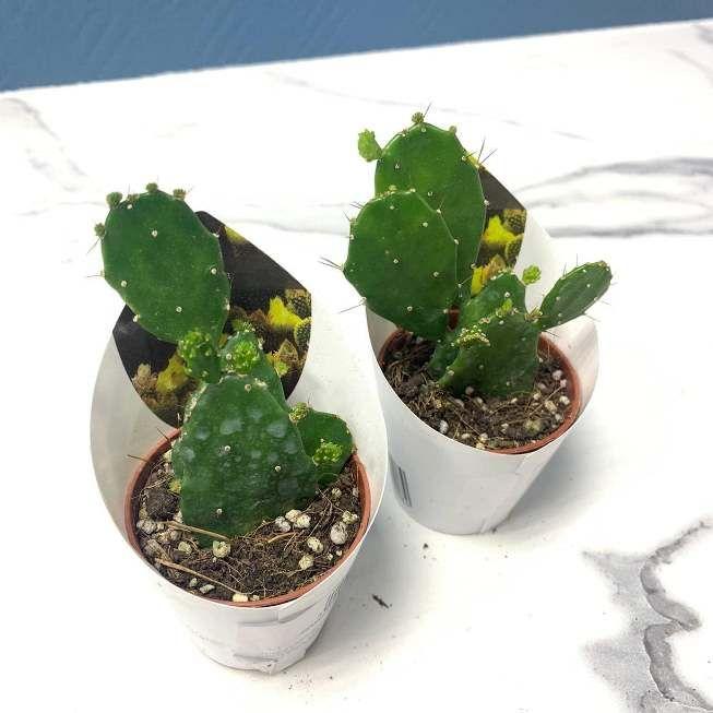 Растение Opuntia HUMIFUSA Опунция приземистая 3