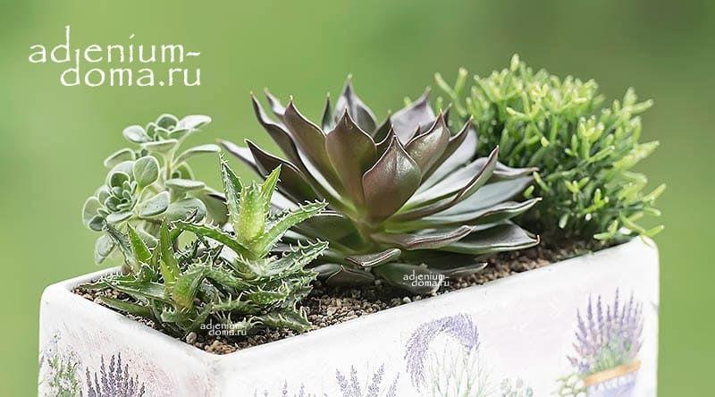Растение Aloe JUVENNA Алоэ ювенильное 3