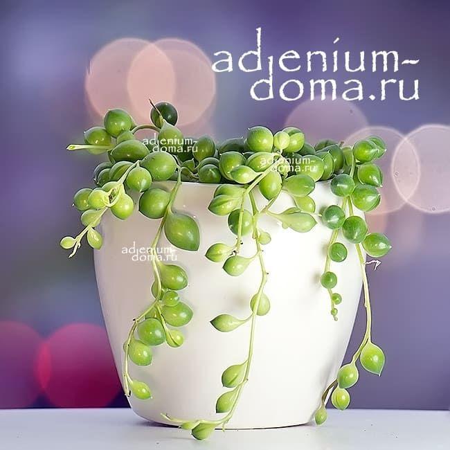 Растение Senecio HERREIANUS Крестовник Геррейна 1