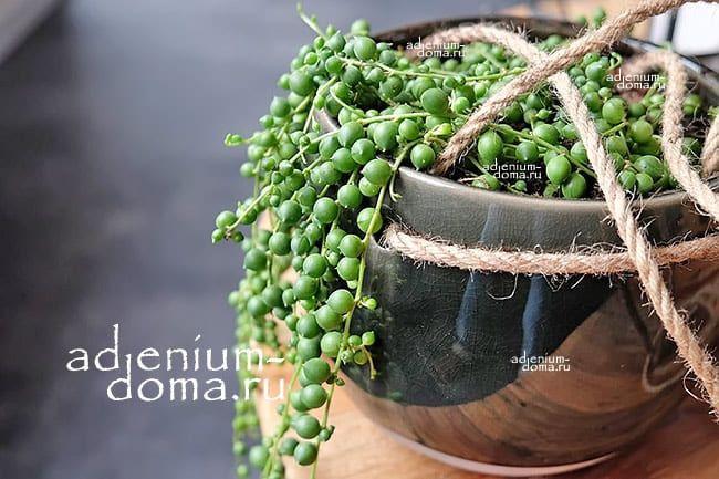 Растение Senecio HERREIANUS Крестовник Геррейна 4