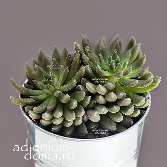 Растение Sinocrassula YUNNANENSIS Синокрассула юннаньская 1