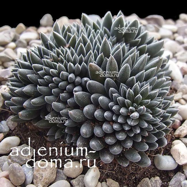 Растение Sinocrassula YUNNANENSIS Синокрассула юннаньская 2