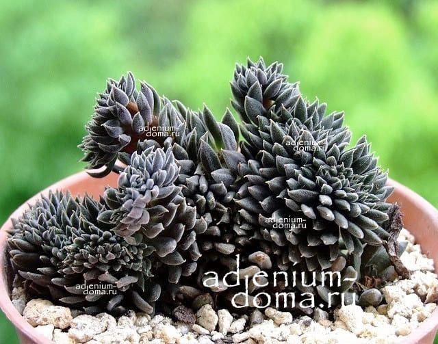 Растение Sinocrassula YUNNANENSIS Синокрассула юннаньская 3