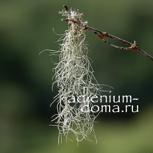 Растение Tillandsia USNEOIDES Тилландсия уснеевидная 1