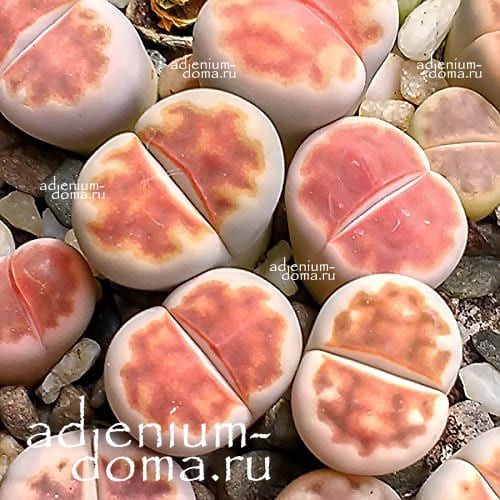 Lithops KARASMONTANA MICKBERGENSIS RED TOP 1