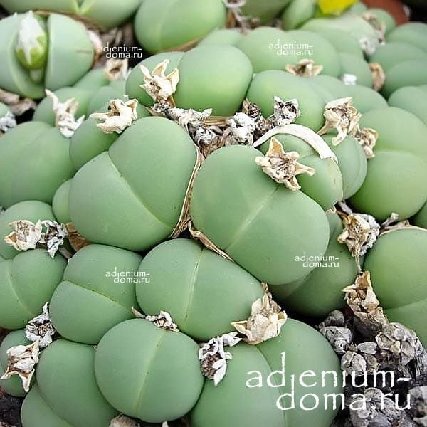 Argyroderma AUREUM Аргиродерма золотая 2