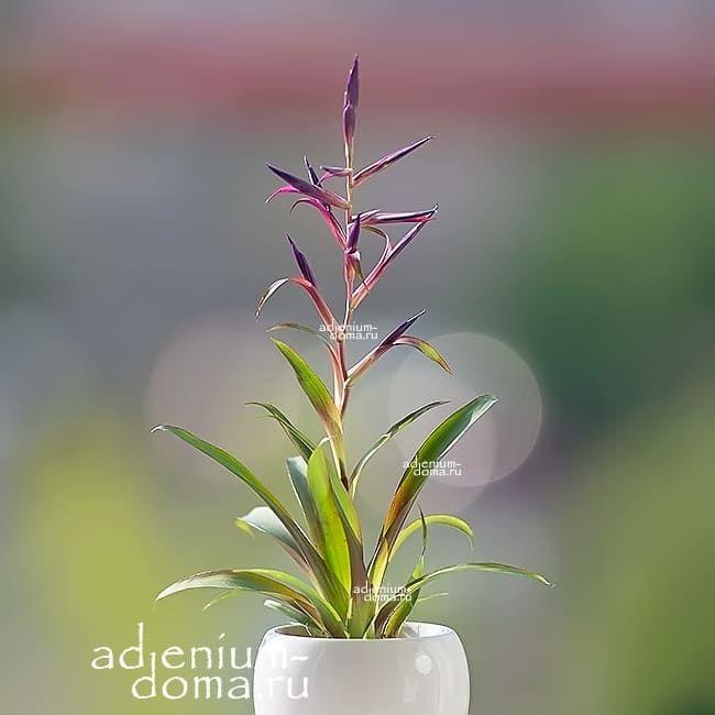 Растение Tillandsia LEIBOLDIANA MORA Тилландсия Мора 1