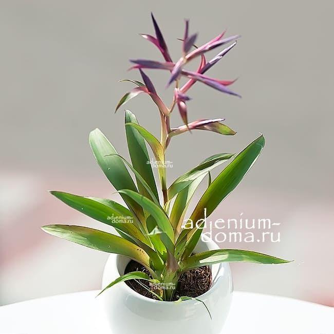 Растение Tillandsia LEIBOLDIANA MORA Тилландсия Мора 2