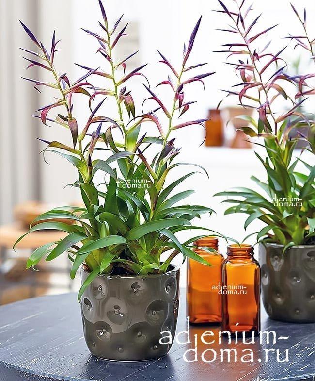 Растение Tillandsia LEIBOLDIANA MORA Тилландсия Мора 3