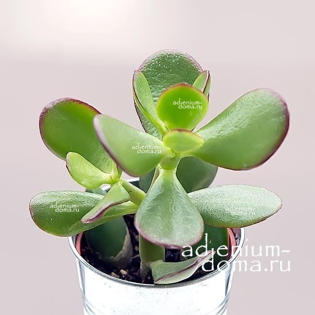 Растение Crassula PORTULACEA MAGIC TREE Денежное дерево 2