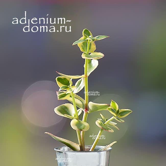 Растение Crassula SARMENTOSA VARIEGATA Крассула ветвистая 1