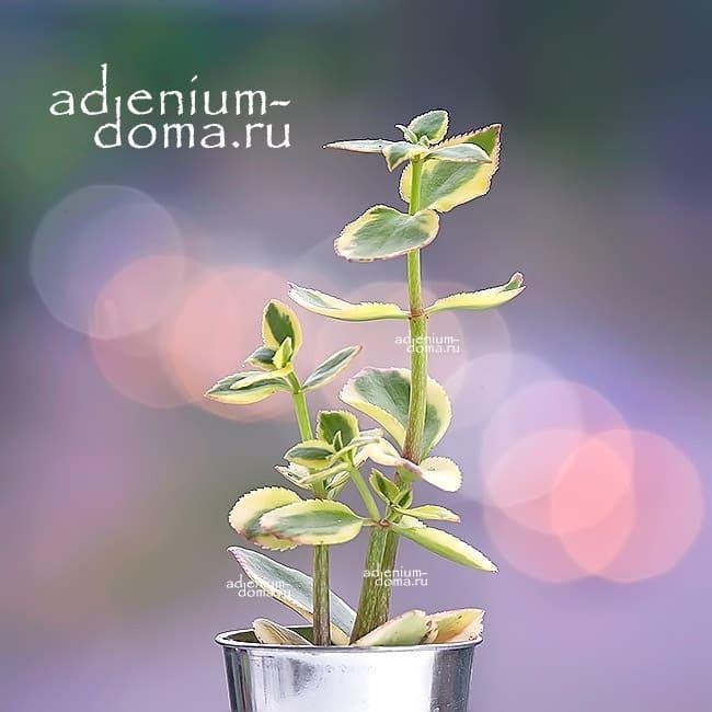 Растение Crassula SARMENTOSA VARIEGATA Крассула ветвистая 2