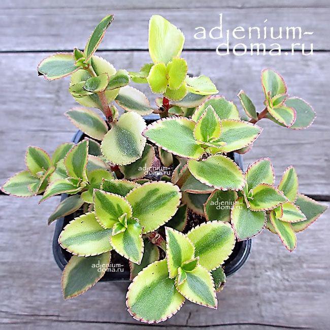 Растение Crassula SARMENTOSA VARIEGATA Крассула ветвистая 3