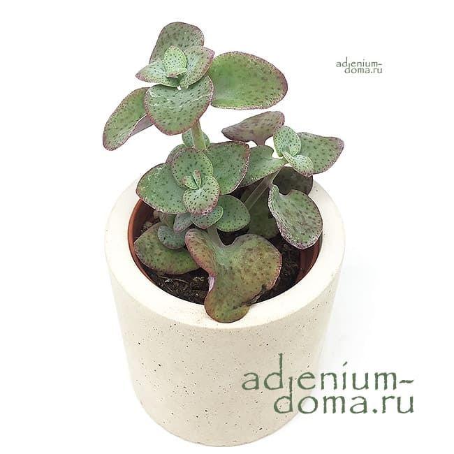 Растение Crassula CORDATA Крассула кордата 1
