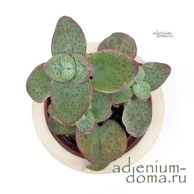 Растение Crassula CORDATA Крассула кордата 2