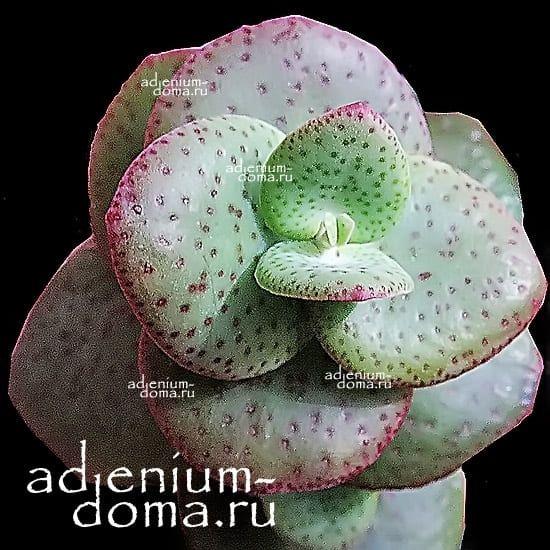 Растение Crassula CORDATA Крассула кордата 3