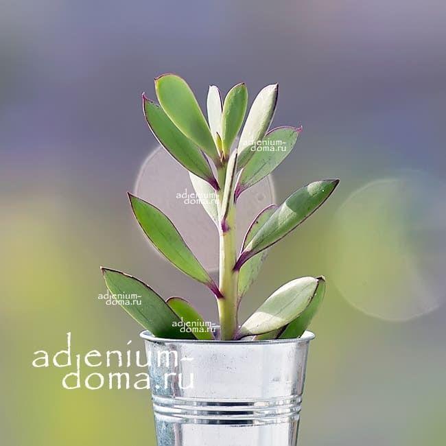 Растение Senecio CRASSISSIMUS Крестовник толстоватый 1