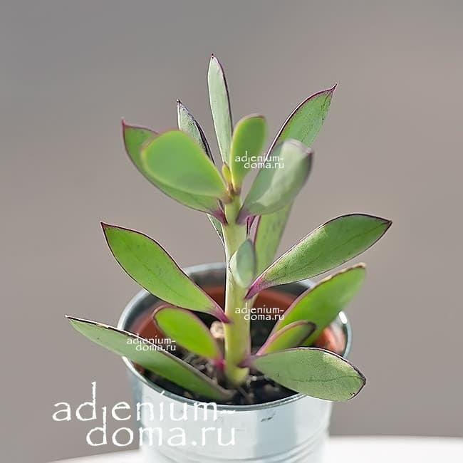 Растение Senecio CRASSISSIMUS Крестовник толстоватый 2