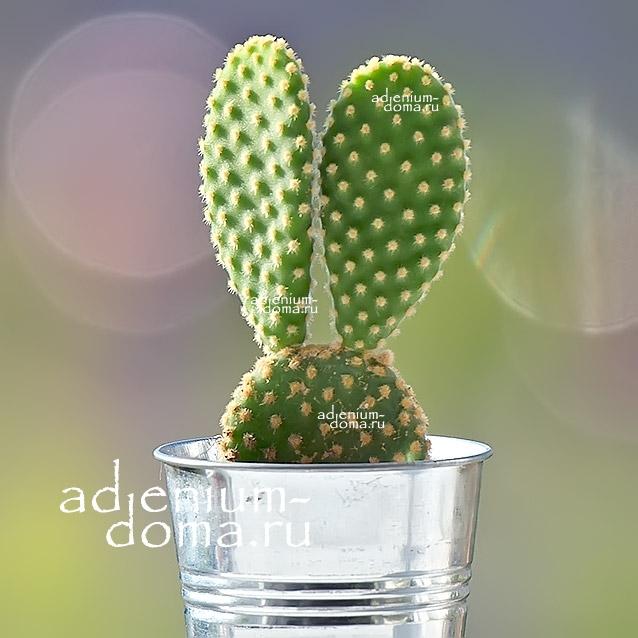 Растение Opuntia MICRODASYS Опунция мелковолосистая 2
