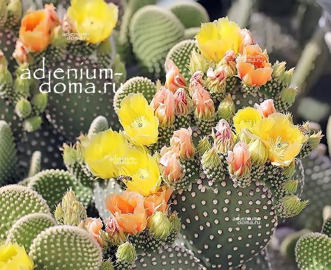 Растение Opuntia MICRODASYS Опунция мелковолосистая 3