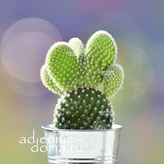 Растение Opuntia MICRODASYS ALBATA Опунция мелковолосистая 1