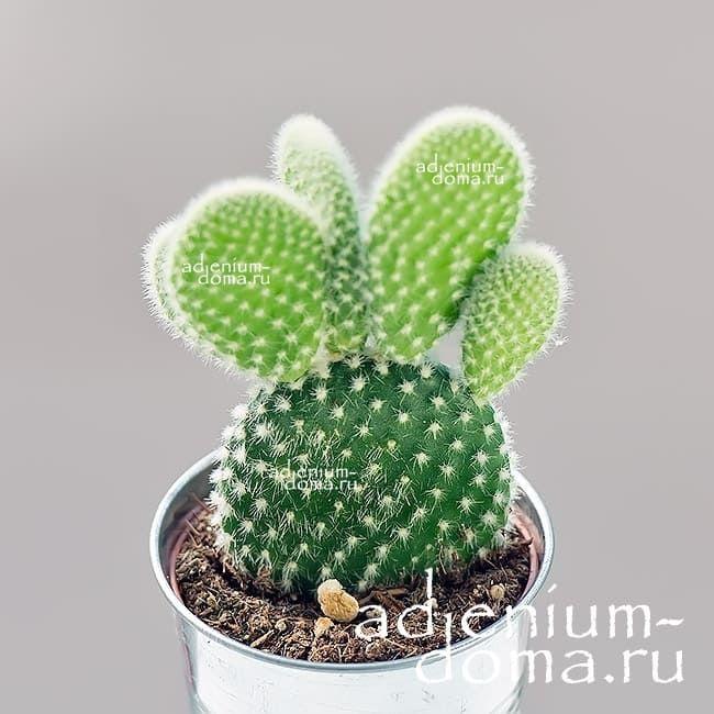 Растение Opuntia MICRODASYS ALBATA Опунция мелковолосистая 2