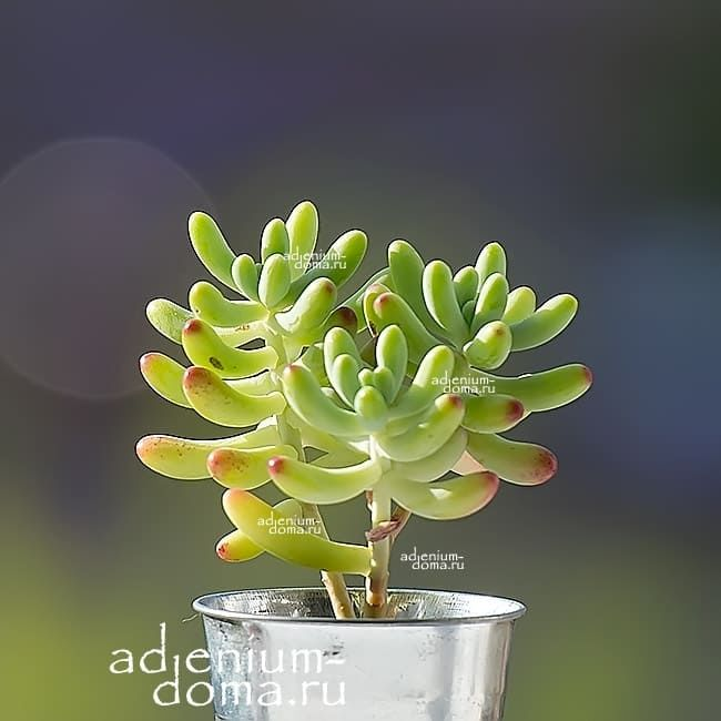 Растение Sedum PACHYPHYLLUM Седум толстолистный 1