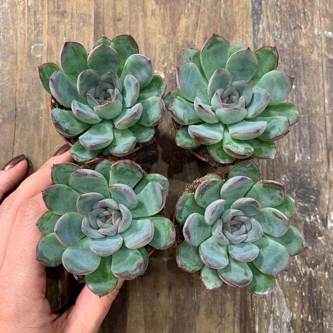 Растение Echeveria PULIDONIS HYBRID III Эхеверия Эчеверия 2