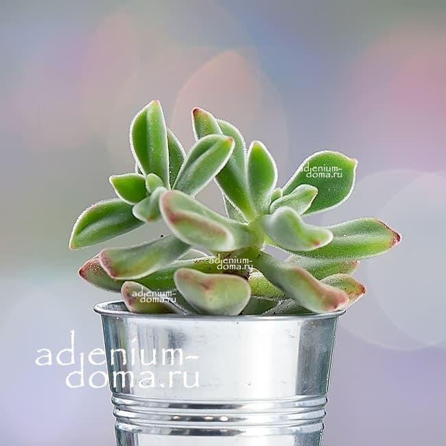 Растение Echeveria PULVINATA Эхеверия подушковидная 1