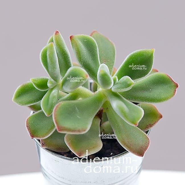 Растение Echeveria PULVINATA Эхеверия подушковидная 2