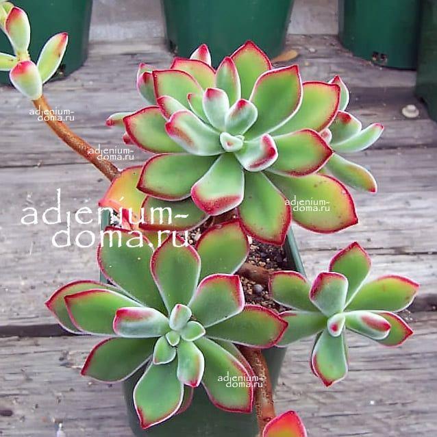 Растение Echeveria PULVINATA Эхеверия подушковидная 3