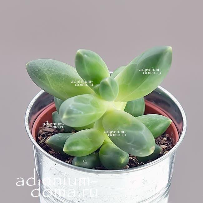 Растение Pachyphytum MIX I Пахифитум 1