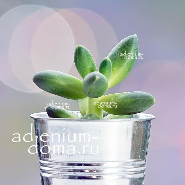 Растение Pachyphytum MIX I Пахифитум 2