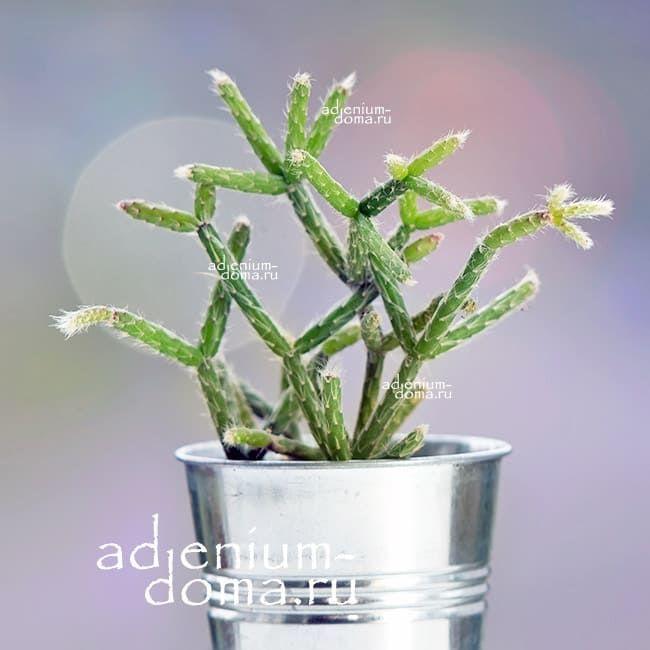 Растение Rhipsalis FASCICULATA Рипсалис пучковидный 1