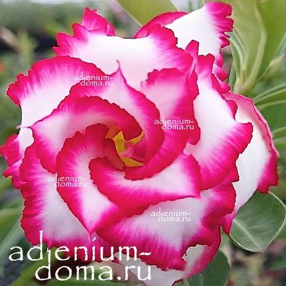 Adenium Double ROYAL EMPRESS