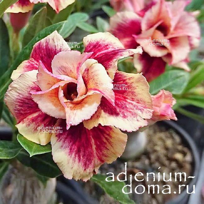 Adenium Double MAGICIAN