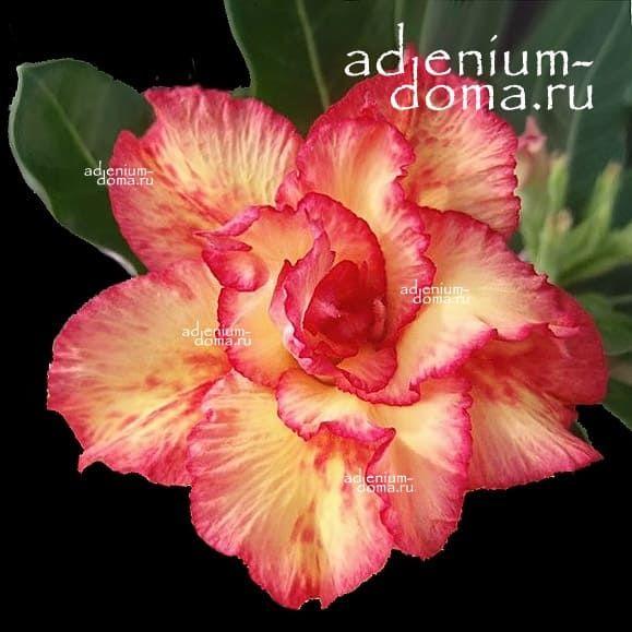 Adenium Triple FIERCE STAR
