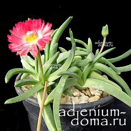 Cephalophyllum SPISSUM Роголистник толстый 1