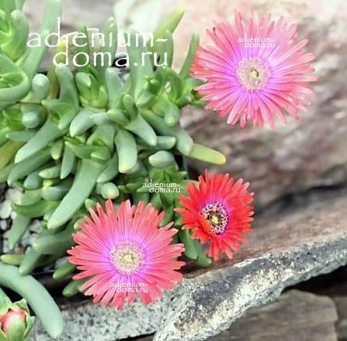 Cephalophyllum SPISSUM Роголистник толстый 2