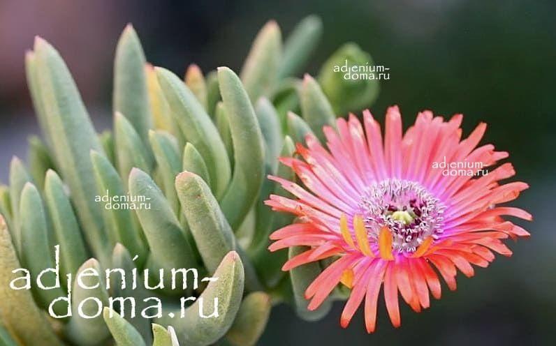 Cephalophyllum SPISSUM Роголистник толстый 3